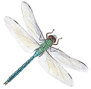 dragonfly-info0