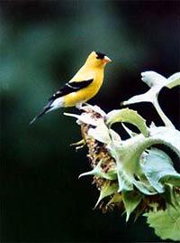 Washington State's bird, the Goldfinch.