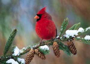 A red cardinal in Winter.